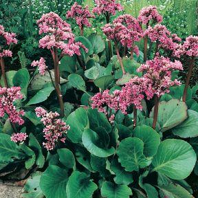 Bergenia Pink Delight  ] 9317759022254 - Flower Power