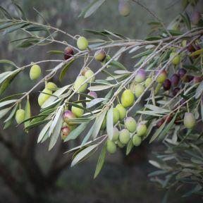 Olive Garden Harvest  ] 9319585037969P - Flower Power