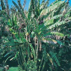 Banana Pisang Ceylan  ] 9319762630242 - Flower Power