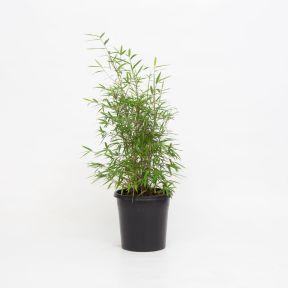 Fortune Bamboo  ] 9319762811504P - Flower Power