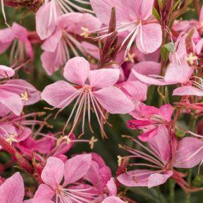 Gaura Karalee Petite  ] 9321846000483P - Flower Power