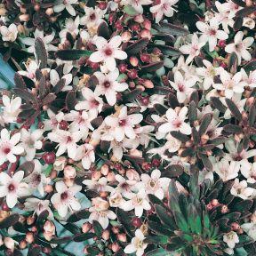 Myoporum Purpurea  ] 9321846017993P - Flower Power