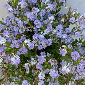 Hebe Lilac Mist  ] 9321846028630 - Flower Power