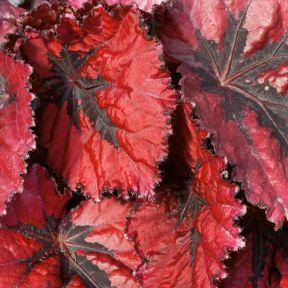 Begonia Rex Red  ] 9324228000132 - Flower Power