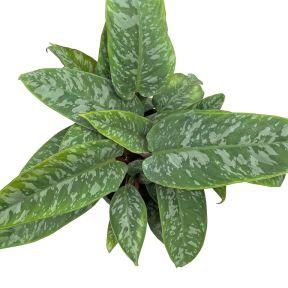 Schismatoglottis acuminatissima  ] 9324228002495P - Flower Power