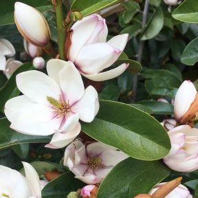 Magnolia Pink Bouquet  ] 9324787009027 - Flower Power
