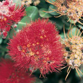 New Zealand Christmas Bush Tahiti  ] 9324806005214P - Flower Power