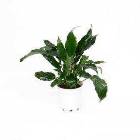 Peace Lily  ] 9326974063843P - Flower Power
