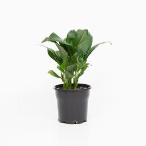 Spathiphyllum Stephanie  ] 9336536004894P - Flower Power
