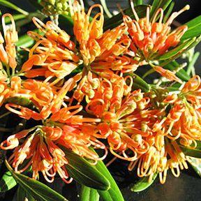 Grevillea Apricot Glow  ] 9336922003173 - Flower Power