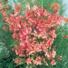 Grevillea - Scarlet Sprite  ] 9336922004026P - Flower Power