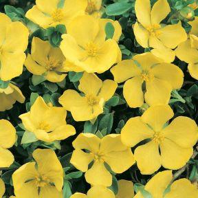 Hibbertia obtusifolia  ] 9336922004538 - Flower Power