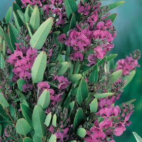 Hardenbergia Mini Ha Ha  ] 9336922010164P - Flower Power