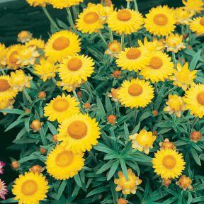 Gold Everlasting Paper Daisy  ] 9336922016142 - Flower Power