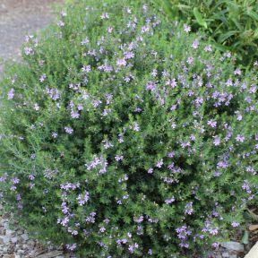 Westringia Blue Gem  ] 9336922028121P - Flower Power