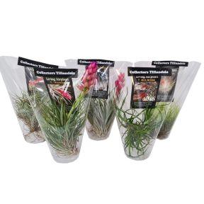 Air Plants Rare  ] 9337006005588 - Flower Power