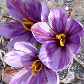Saffron  ] 9339797006232 - Flower Power