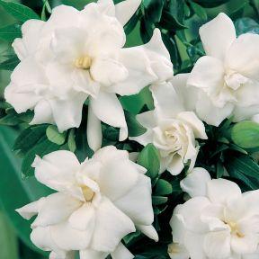 Gardenia Varigated Radicans  ] 9347348000967P - Flower Power