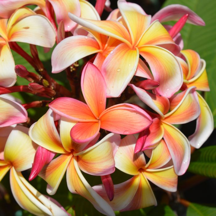 Frangipani Tricolour  ] 1054920200P - Flower Power