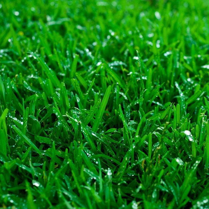 Couch Winter Green Turf Delivery Only  ] 105984P - Flower Power