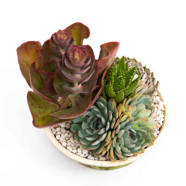 Cactus & Succulent Garden A  ] 1062109999 - Flower Power