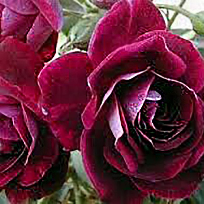 Burgundy Iceberg Rose  ] 1085390200P - Flower Power