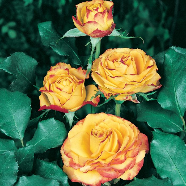 Tequila Sunrise Rose Standard  ] 1085550250P - Flower Power