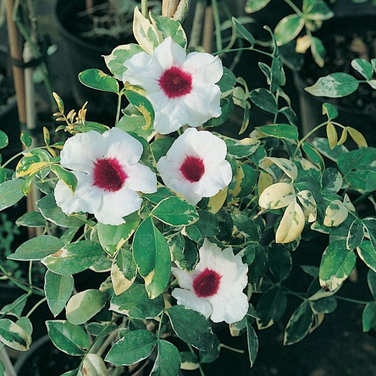 Pandorea Jasminoides Charisma  ] 1136900140P - Flower Power