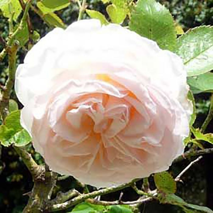 Blush Pierre De Ronsard Rose  ] 1142340200 - Flower Power