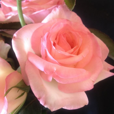 Princess De Monaco Rose Standard  ] 1150250250 - Flower Power
