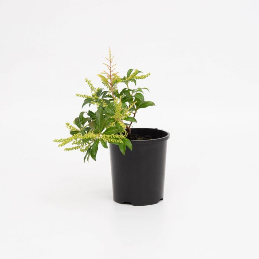 Mountain Fire Japanese Pieris  ] 1151350140P - Flower Power