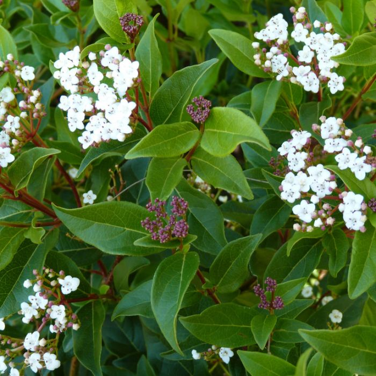 Viburnum tinus  ] 1165200140P - Flower Power