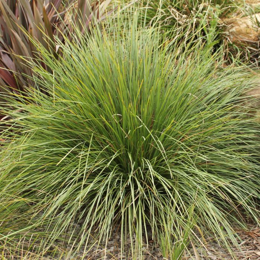 Lomandra Nyalla  ] 1187200140P - Flower Power
