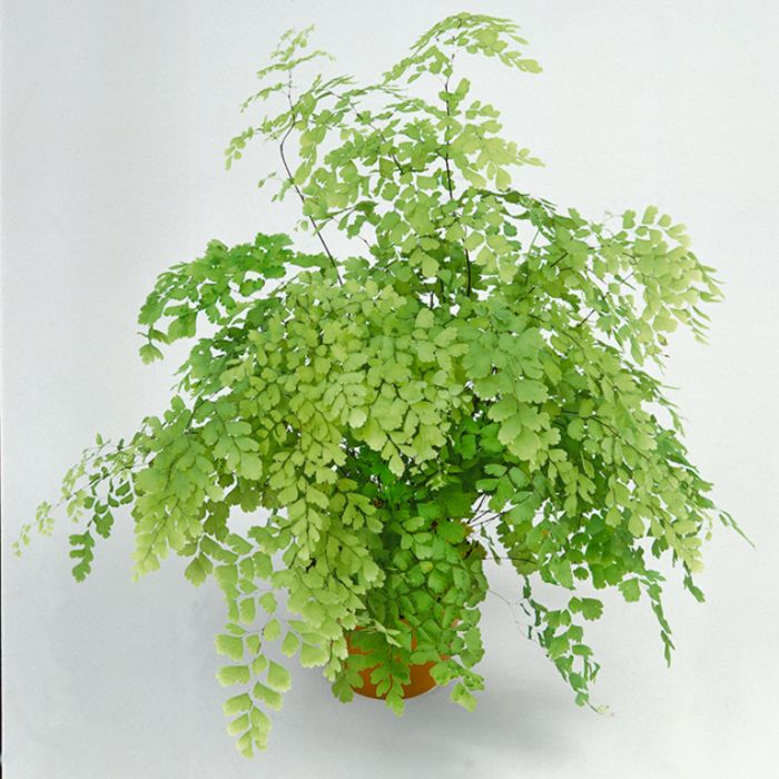 Maiden Hair Fern Hanging Basket  ] 1238280017 - Flower Power