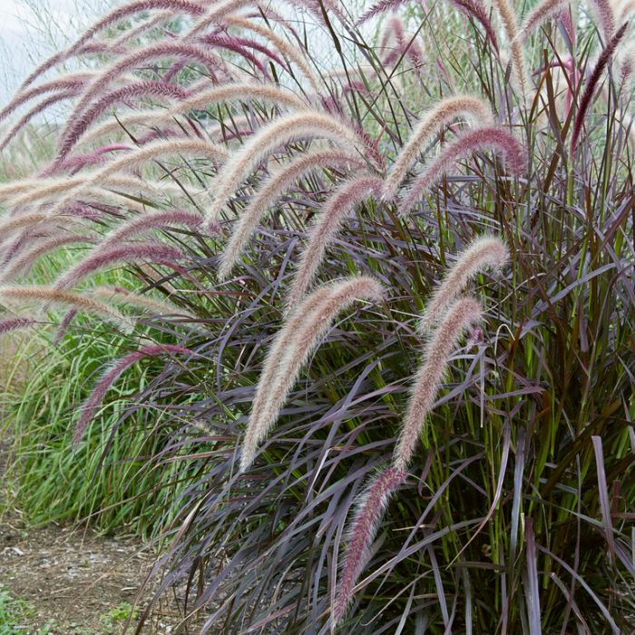 Purple Fountain Grass  ] 1274280140P - Flower Power