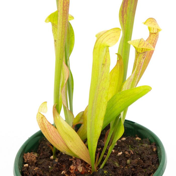 Carnivorous Pitcher Plant  ] 127432P - Flower Power