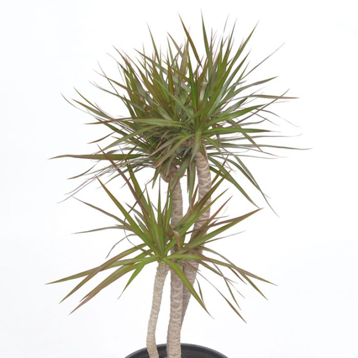 Black Knight Dracaena  ] 127547P - Flower Power