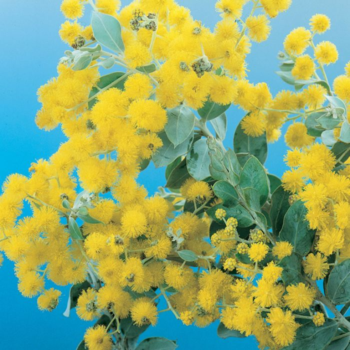 Queensland Silver Wattle  ] 1289800200P - Flower Power