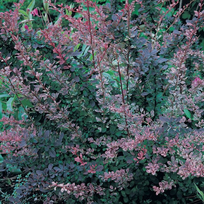 Japanese Barberry 'Rose Glow'  ] 1291300140P - Flower Power