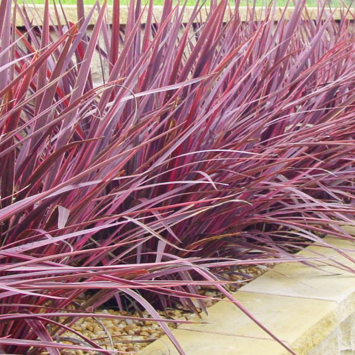 Cordyline Electric Pink  ] 1298230200P - Flower Power