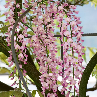 Wisteria 'Hon-beni'  ] 132404 - Flower Power