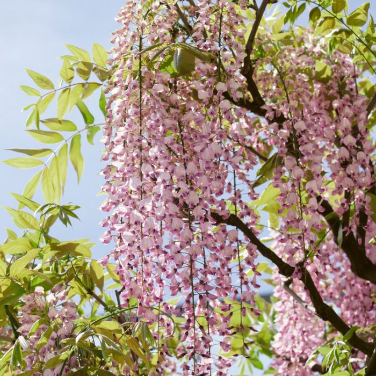 Wisteria 'Hon-beni'  ] 132405P - Flower Power