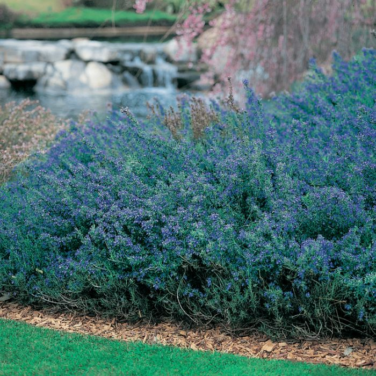 Rosemary Blue Lagoon  ] 1347330140P - Flower Power