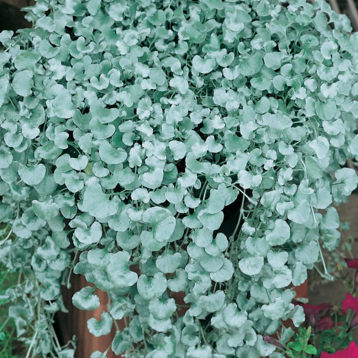Dichondra 'Silver Falls' Hanging Basket  ] 1352980017P - Flower Power