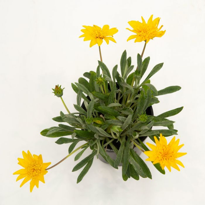 Gazania Sahara  ] 1355780140 - Flower Power