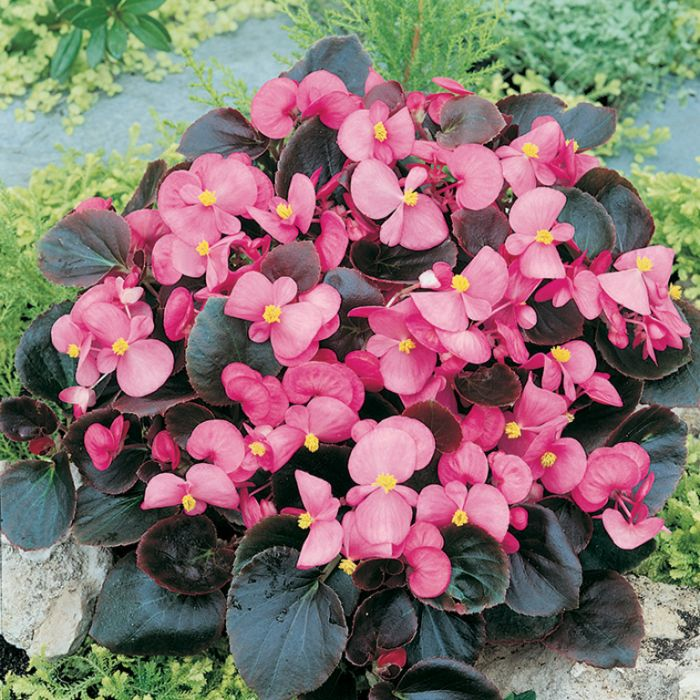 Begonia Dark Leaf Pink  ] 1362041006P - Flower Power