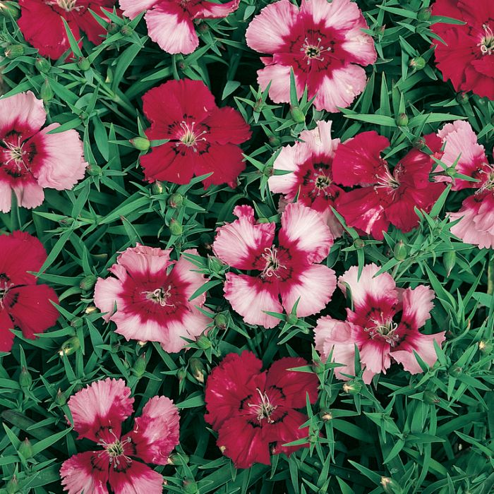Dianthus Cherry Magic  ] 1362111006 - Flower Power