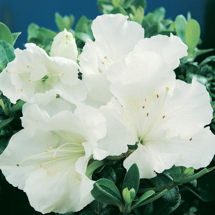 Azalea Gumpo White  ] 1379830140P - Flower Power