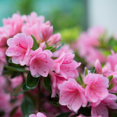 Azalea Kirin  ] 1379870140P - Flower Power