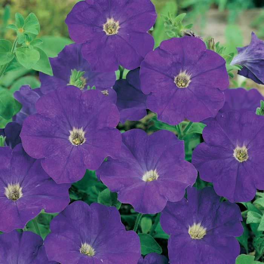 Petunia Blue  ] 1384801006 - Flower Power